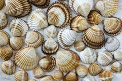 Venus mussels, spiny cockle shells, seashells royalty free stock images