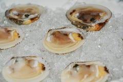 Venus shells on ice, fresh fish background Royalty Free Stock Image