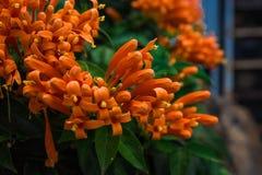 Venusta de Pyrostegia belle usine lumineuse peu commune orange fleurissante de buissons image libre de droits