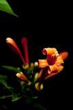 Venusta di Pyrostegia Fotografie Stock