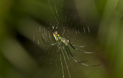 Venusta Orchard spider Stock Photography