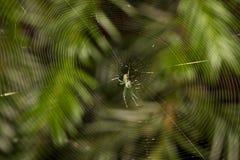 Venusta Orchard spider Stock Image