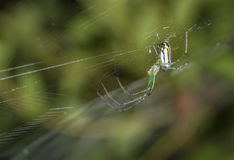 Venusta Orchard Spider (Leucauge venusta) Royalty Free Stock Photos