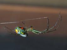 Venusta Orchard Spider Stock Photography