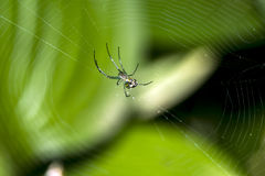 Venusta orchard spider in web Royalty Free Stock Images