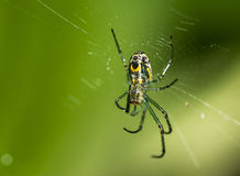 Venusta orchard spider in web Stock Image