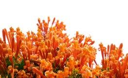 Venusta Pyrostegia или оранжевая труба стоковое изображение rf