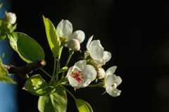 Venuta della primavera! Fiori della pera immagini stock libere da diritti