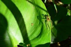 verão da aranha na borda da folha verde de um lírio de água Foto de Stock Royalty Free