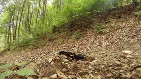 verão da salamandra nas florestas da montanha dos Carpathians filme