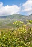 verão de florescência Itália das lentilhas de Castelluccio imagens de stock royalty free