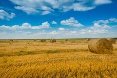 verão do milho da colheita Imagem de Stock