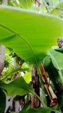 verão do verde da folha da árvore de banana Foto de Stock Royalty Free