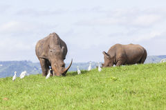 verão dos rinocerontes Imagens de Stock