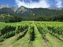 verão dos vinhedos de Suíça de Maienfeld Graubuenden Fotos de Stock