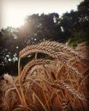 Verão dourado Fotografia de Stock