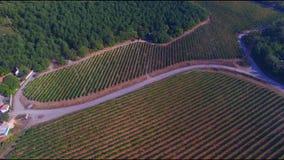 verão ensolarado no vale da uva definição 4K Terraço da uva na luz solar video estoque