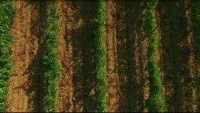 verão ensolarado no vale da uva definição 4K Terraço da uva na luz solar filme