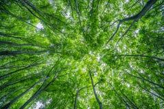 verão Forest Canopy foto de stock