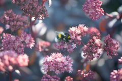 verão, fundo da fada da mola Grande zangão nas flores fotografia de stock