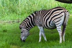 Verão grávido da zebra Fotos de Stock
