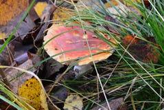 Verão indiano Um agaric de mosca nas folhas de outono Fotografia de Stock