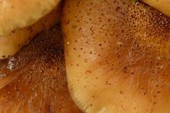 verão maduro fresco dos cogumelos do agaric do mel Imagens de Stock