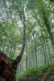 verão nevoento Forrest Fotografia de Stock Royalty Free