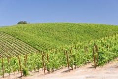 Verão no país de vinho Imagem de Stock Royalty Free