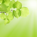Verão ou conceito da mola com folhas verdes Fotos de Stock