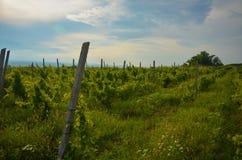 verão Romênia do verde do campo do panorama do por do sol do vinhedo Fotografia de Stock