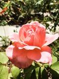 verão Rosa imagem de stock