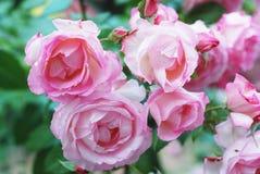 verão Rose Flowers bonita cor-de-rosa no jardim verde Grupo cor-de-rosa do fundo da flor imagens de stock