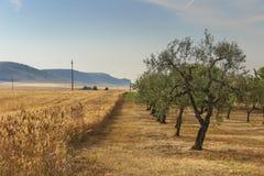 VERÃO RURAL DA PAISAGEM Contryside montanhoso com campo de milho e o bosque verde-oliva fotos de stock royalty free