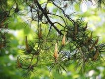verão sempre-verde do pinho do ramo de árvore Fotos de Stock Royalty Free