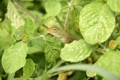 Veränderbare Eidechse Calotes versicolor lizenzfreie stockfotografie