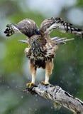 Veränderbare FalkeEagle oder FalkeEagle mit Haube Lizenzfreie Stockfotografie
