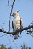 Veränderbarer Falke-Adler Stockfotos
