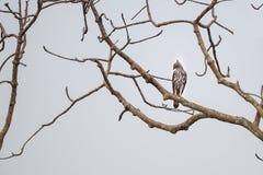 Veränderbarer Hawk Eagle auf einer Stange Lizenzfreies Stockbild