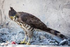 Veränderbarer Hawk Eagle (Nisaetus-cirrhatus) Stockbild