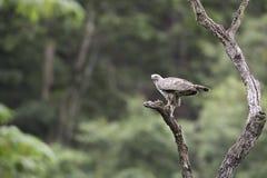 Veränderbarer Hawk Eagle-Stand auf Stumpf Stockfotos
