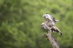 Veränderbarer Hawk Eagle-Stand auf Stumpf in der Natur Lizenzfreies Stockfoto