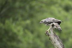 Veränderbarer Hawk Eagle-Stand auf Stumpf in der Natur Stockfotos