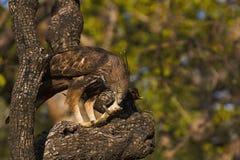Veränderbares FalkeEagle, Nisaetus-cirrhatus, Panna Tiger Reserve, Madhya Pradesh, Indien stockfoto