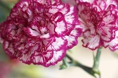 Veränderte Blume Stockfotografie