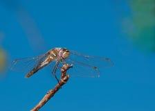 Veränderte Meadowhawk Libelle gehockt auf einem Zweig Stockfoto