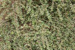 Veränderter Cotoneaster, der gegen Backsteinmauer mit den Blumenknospen wächst Stockbild