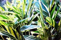 Veränderter Ingwerlilienbetriebsoberteilingwer in Sun- Citymitte, Florida lizenzfreies stockbild