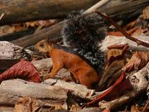 Verändertes Eichhörnchen Stockfotos