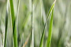 Verändertes Gras Stockbilder